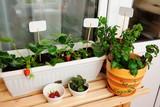 Травы и клубника в горшках на балконе в квартире - 202648190