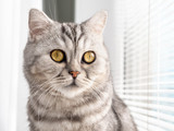 close-up portrait of cat breed Scottish color tabby close-up at the window with blinds
