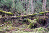 Fallen deciduous trees in conifer woodland at Beecraigs Country Park, Linlithgow, West Lothian, Scotland, United Kingdom. - 202667765