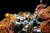 beautiful Ocellaris Clownfish in aquarium
