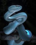 Snake - Viper - Reptile Series - 202695182