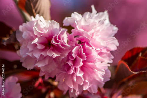 Fotobehang Crimson Beautiful pink tree spring flower