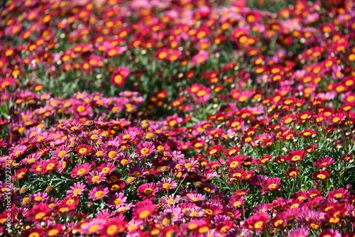 Fotobehang Roze daisy Farmed colorful outdoor flowers field
