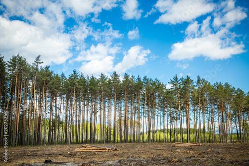 Fotobehang Berkenbos Green forest and blue sky.