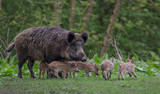 Young wild Boar - 202737796