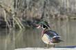 Wood Duck Male
