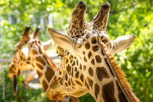 Fototapeta Giraffe twins