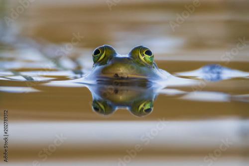 Plexiglas Kikker The reflection of a frog