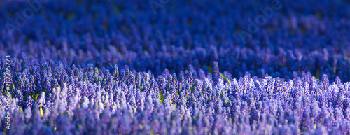 Fototapeta field of blue flowers
