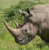 White Rhino - 202797778