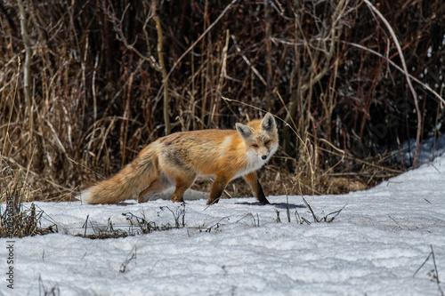 Fototapeta A Beautiful Red Fox in Colorado