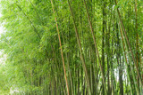 Juicy green young bamboo thickets