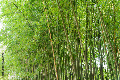 Fotobehang Bamboe Juicy green young bamboo thickets