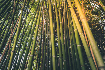 Juicy young bamboo thickets in the rays of a warm summer sun