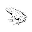 Vector frog logo. Frog Sketch. Vector artwork.