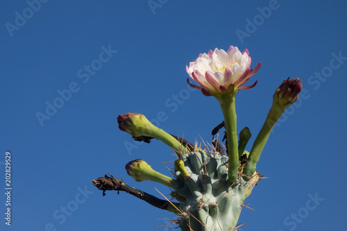 Foto Murales Night blooming flower of Cereus cactus is about to close for the day in early Spring morning