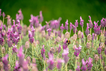 Bumble bees on lavender flowers,