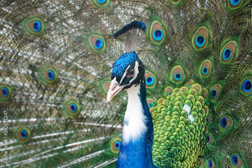 Plexiglas Pauw close up on blue peacock with spreading tail feather