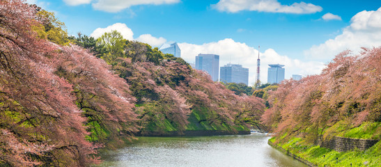 Sakura  tree at Kitanomaru Garden. japan landscape. Cherry Blossoms in Tokyo with Tokyo Tower on background