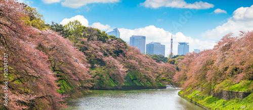 Plexiglas Tokio Sakura tree at Kitanomaru Garden. japan landscape. Cherry Blossoms in Tokyo with Tokyo Tower on background
