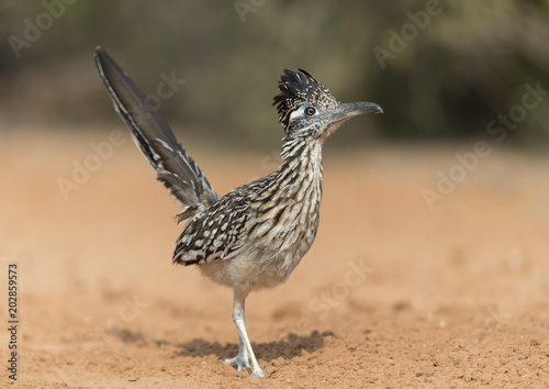 Greater Roadrunner in Southern Texas, USA Poster