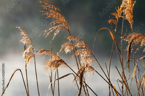 Reed grass by the river in the morning fog. - 202875190