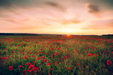 flowering poppy flowers in the field in warm weather at sunset in the summer - 202877735