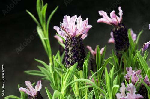 Aluminium Lavendel Vintage style flower pot and potted lavender plants.
