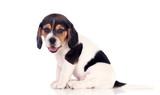 Beautiful beagle puppi brown and black