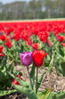 Purple and red tulip together in a redtulipfield