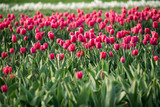 Red pink tulip field © Jesse
