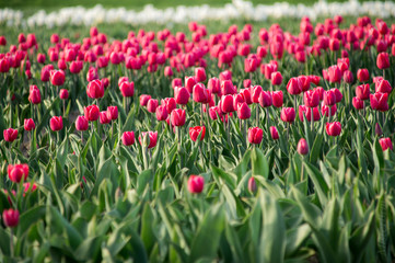Red pink tulip field