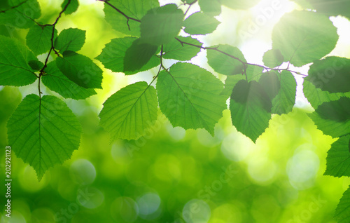 fototapeta na ścianę sun in the green leaves.