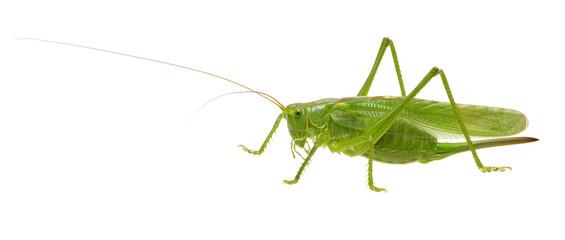 Green locust on white © Alekss