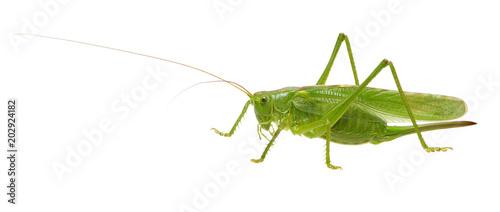 mata magnetyczna Green locust on white