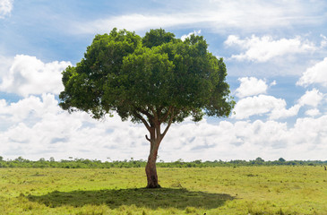 nature, landscape and african wildlife concept - acacia tree in maasai mara national reserve savannah in africa © Syda Productions