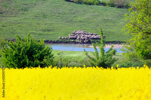 Leinwanddruck Bild Agricultural landscape. A field of blooming canola. A herd of sheep is drinking water. Danubian Plain Bulgaria.