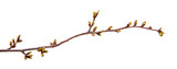 Cherry tree branch with swollen buds on isolated white background. - 202940565
