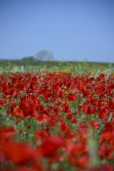 Field of Red Poppies, Spring season