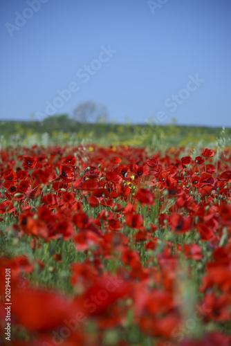 Fototapeta Field of Red Poppies, Spring season