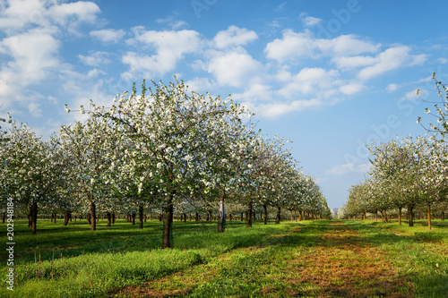 Fototapeta Beautiful cherry trees in blossom, springtime view of blossoming garden.