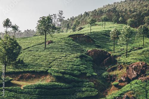 Plexiglas Olijf Teeplantage Fairtrade anbau, Bio Gesund aus der Natur Tee