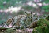 Luchse im Wald
