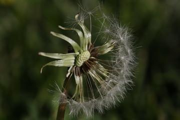 overblown dandelion