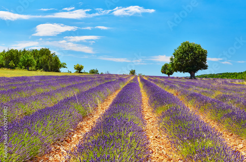 Lavender field in summer countryside.