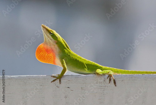 Plexiglas Kameleon Male Carolina Anole Lizard Displaying Red Throat