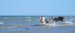 Eine Gruppe von zwei Australian Shepherd Hunden spielen glücklich und aktive im blauen Wasser des Ozeans