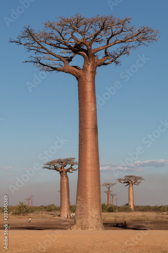 Foto Spatwand Baobab Baobab
