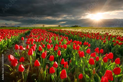 Plexiglas Tulpen sunshine over red tulip field in spring