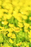Field of yellow buttercup flowers in summer - 203057971